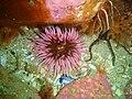 Sea anemone at Rocky Bay PB022143.JPG