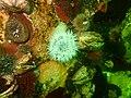 Sea anemones at Rachel's Reef P2110181.jpg