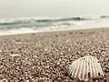 Sea shell on the beach.jpg