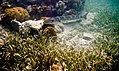 Seagrass, Corals, and a Baracuda (6021867295).jpg