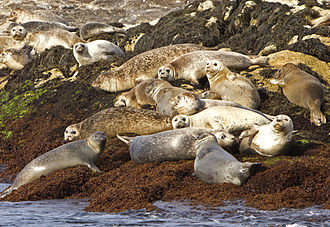 Shoals Marine Laboratory - Seals sunbathing at the Isles of Shoals