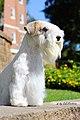 Sealyham Terrier - Xenia.1.jpg