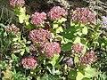 Sedum anacampseros flowers02.jpg