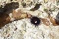 Seeigel und Steinkorallen.jpg