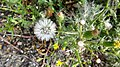 Senecio viscosus (Sticky Groundsel) seed head, Kilmaurs, East Ayrshire.jpg