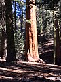 Sequoia Tree1.jpg