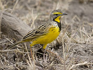 Yellow-throated longclaw Species of bird