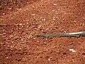 Serpente Transpantaneira Pantanal Poconé MT 3.jpg