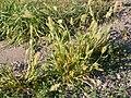 Setaria viridis (3813241041).jpg
