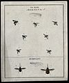 Seven flies (Muscæ species) and two bee flies (Bombylius spe Wellcome V0022490EL.jpg