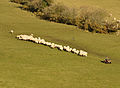Sheep at Kingsett.jpg