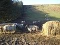 Sheep feeding on Castle Hill - geograph.org.uk - 687134.jpg