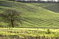 Sheep grazing on the Escarpment behind Ilbury Farm - geograph.org.uk - 290212.jpg