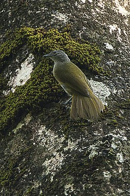 Shelley's Greenbul - Kakamega Kenya 06 2560 (16429612694).jpg