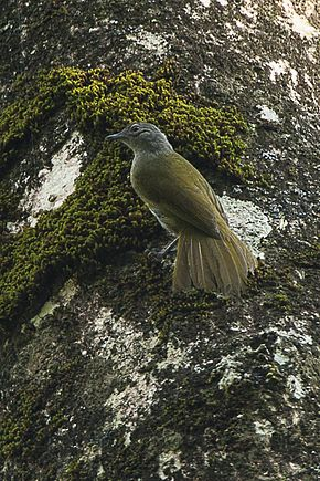 Description de l'image Shelley's Greenbul - Kakamega Kenya 06 2560 (16429612694).jpg.