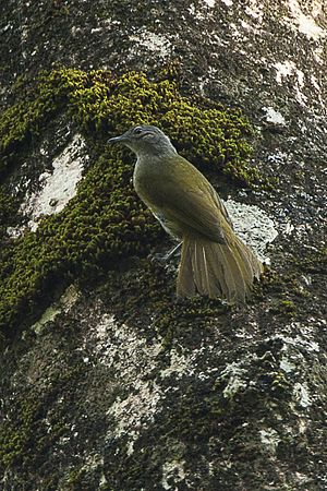 Kakamega greenbul - Image: Shelley's Greenbul Kakamega Kenya 06 2560 (16429612694)