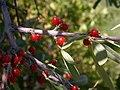 Shepherdia argentea (5200492782).jpg