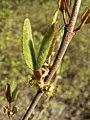 Shepherdia canadensis 38578.JPG