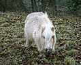 Shetland Pony. (under 4ft tall) - Flickr - gailhampshire (1).jpg
