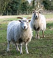 Shetland sheep at Church Farm Rare Breeds Centre, Stow Bardolph (geograph 1737263).jpg