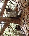 Short eared owls Lake Langadas area.jpg