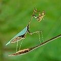Sibylla pretiosa Cryptic mantis Luc Viatour.jpg