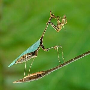 Cryptic mantis southern Africa Français : Sybi...