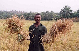 Sierra Leone rice farmer