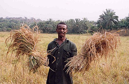 A farmer with his rice harvest in Sierra Leone. Two-thirds of Sierra Leone's population are directly involved in subsistence agriculture. Sierra Leone rice farmer.jpg