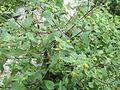 Sigesbeckia orientalis-yercaud-salem-India.JPG