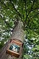 Silberne Eiche Baum 2 Schönberg-Fernitz.jpg