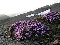 Silene acaulis - Fjellsmelle.jpg