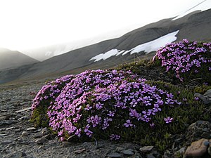 Stalkless catchfly (Silene acaulis) on Barentsøya