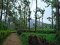 Sitargundu Estate, Kollengode South, Kerala 678508, India - panoramio (7).jpg