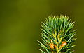 Sitka spruce (Picea sitchensis).jpg