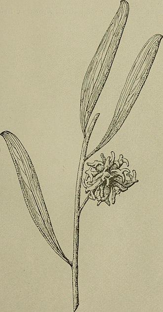 Acacia cyclops - Sketch of Acacia cyclops phyllodes and flowers