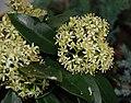 Skimmia japonica reevesiana.jpg
