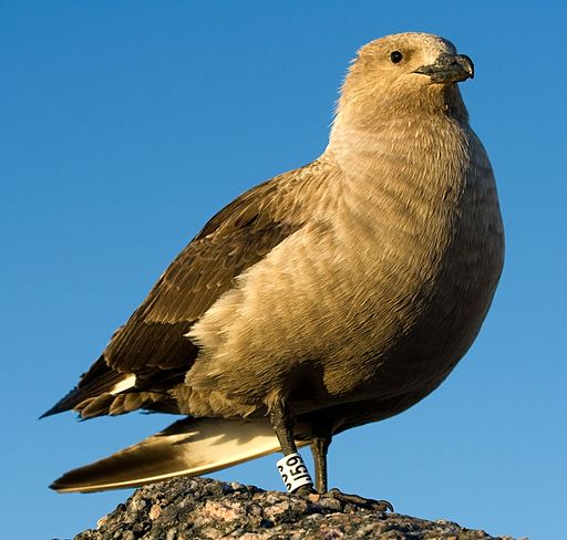 Skua antarctique - South Polar Skua