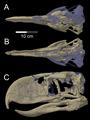 Skull of Andalgalornis steulleti.png