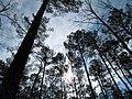 Sky Trees, Jordan Lake SP NC 1472 (5487250988).jpg