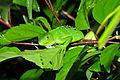 Sleeping baby iguana (9613443665).jpg