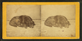 Sleeping dog, by Lamprey, M. S. (Maurice S.).png