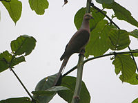 Slender-billed Cuckoo-Dove