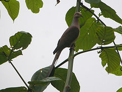 Slender-billed Cuckoo-Dove.jpg