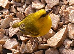 Slender billed weaver.jpg