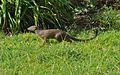 Slender mongoose2.jpg