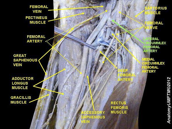 Medial Circumflex Femoral Artery Lateral circumflex fem...
