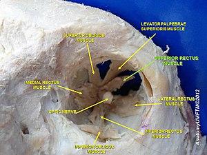 Superior rectus muscle