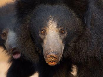 Sloth Bear-3348.jpg