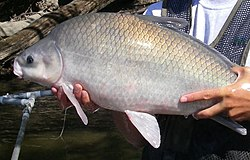 Smallmouth buffalo.JPG